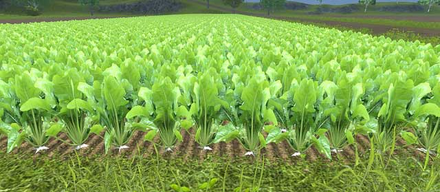 how to grow sugar beets